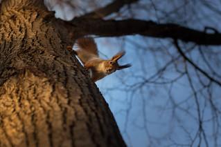 Eurasian red squirrel (Sciurus vulgaris), in Gorky Park, Moscow
