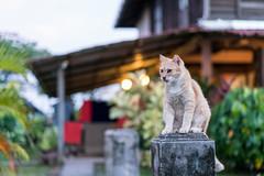 20171214-DSC02727.jpg (CBsoundso) Tags: sitting kedah asia solunaguesthouse langkawi cat sony throne animal malaysia carlo southeastasia sunset pantaicenang sonyphotography sonyalpha sonyarii nature