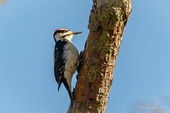 Hairy Woodpecker (Bob Gunderson) Tags: birds boathouse california hairywoodpecker lakemerced northerncalifornia picoidesvillosus sanfrancisco woodpeckers