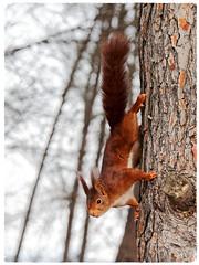 Esquirol vermell - Ardilla roja - Red squirrel - Sciurus vulgaris (aurearamon) Tags: ardillaroja redsquirrel esquirolvermell sciurusvulgaris animal olympus em5 micro43 leica100400f463