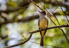 Myiarchus ferox (azambolli) Tags: myiarchus flycatcher mariacavaleira animal nature natureza brasil bird ave