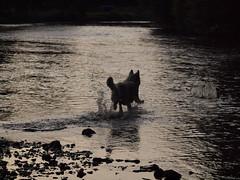 Spiel in der Rur (ISOZPHOTO) Tags: flus river filou isoz dog hund olympus zuiko bergerblancsuisse weisserschäferhund whiteshepherd rur chien perro pet haustier witteherder schweizerschäferhund shepherd wasser water 2017 oly olympuse esystem ft 43 fourthirds e620 schäferhund vomweissengolde gorgeous dogphotography hundefotografie dogatplay swissshepherd lichtundschatten lightandshadow silhouette composition 70300 riverside mzuiko whitegermanshepherd inu bergerblanc wgsd isozphoto silhouettes outside outdoor dogaction whitedog