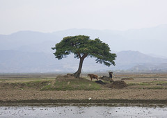 North Korean peasant with his ox cart working under a tree, Kangwon Province, Wonsan, North Korea (Eric Lafforgue) Tags: agriculture animal asia chariot communism copyspace countryside cow dailylife day daylight dictatorship domesticanimals domesticcattle dprk farmworker farmer farmers field horizontal labour landscape mountain nature nkorea7802 nopeople nonurbanscene northkorea oneperson outdoors oxcart peasants people poverty ruralscene tranquilscene tree trolley wild work workinganimals wonsan kangwonprovince 北朝鮮 북한 朝鮮民主主義人民共和国 조선 coreadelnorte coréedunord coréiadonorte coreiadonorte 조선민주주의인민공화국 เกาหลีเหนือ קוריאההצפונית koreapółnocna koreautara kuzeykore nordkorea північнакорея севернакореја севернакорея severníkorea βόρειακορέα
