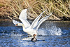 4 winged swan (Paul Wrights Reserved) Tags: swan swans action animal animals wildlife wildanimal bird birding birds birdphotography birdwatching birdinflight goose splash wings splashing bokeh