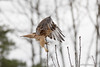 come at me bro (Brian M Hale) Tags: hal hawk hybrid red tail shoulder redtail redshoulder bird birding nature wild life wildlife natural ma mass massachusetts newengland new england outdoors outside brian hale brianhalephoto