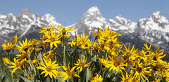 Spring In Wyoming (Dan9900) Tags: flower flowers nature spring landscape landscapes outdoors outside mountain mountains tetons teton grand grandtetons jacksonhole jackson hole wyoming mndphoto wanderlust beautiful summer colorful lima ohio dan sproul