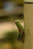 DSC_0154 (Hachimaki123) Tags: 日本 japan animal 動物 insect insecto saltamontes grasshopper バッタ 虫 nara 奈良 萬葉植物園 manyobotanicalgardens