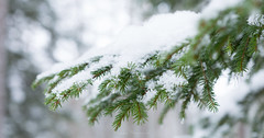 Pines Don't Mind the Cold (Mikko Manner) Tags: nikond7200 sigma1835mmf18art nuuksionationalpark nuuksio espoo finland winter pine snow cold nature bokeh backgroundblur pineneedles