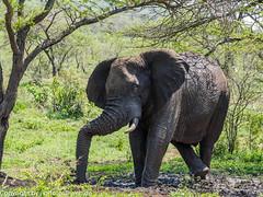 African Bush Elephant (xrxss15) Tags: africa africanbushelephant afrikanischerelefant animalia animals elephantidae elephants hluhluwe hluhluwe–imfolozipark kwazulunatal loxodontaafricana mammals southafrica säugetiere tiere mudbathing outofacar