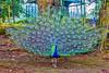 (Aiel) Tags: peacock feathers fan yercaud deerpark annapark shevaroys tamilnadu colourful canon60d canon24105f4lis peafowl aves galliformes phasianidae phasianinae pavocristatus bird