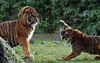 sumatran tiger Alia and Emas Blijdorp BB2A8460 (j.a.kok) Tags: tijger tiger sumatraansetijger sumatrantiger pantheratigrissumatrae kat cat animal asia azie sumatra mammal zoogdier dier predator blijdorp emas alia