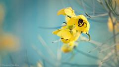 Yellow Drops in Aqua (Maureen Medina) Tags: maureenmedina artizenimages yellow flower buds bush leaves flora 7dwf