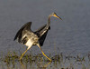 Tricolored Heron (Gary McHale) Tags: running wings outstretched tricolored heron upper myakka lake river state park florida