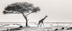 Monochrome Mara (Thomas Retterath) Tags: natur nature kenya africa afrika masaimara adventure wildlife abenteuer massaigiraffe giraffacamelopardalis giraffe giraffidae pflanzenfresser herbivore säugetier mammals animals tiere giraffacamelopardalistippelsk safari giraffacamelopardalistippelskirchi 15challengeswinner fotocompetition fotocompetitionbronze