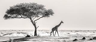 Monochrome Mara