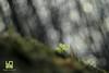 AGGRAPPATA (Lace1952) Tags: fiori fioriture primule primavera primizie sottobosco sfocato bokek panasonicg microquattroterzi orestonmeyer50mmf1e8 ossola vco piemonte italia
