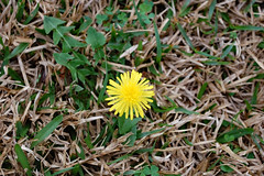 Dandelion In The Yard. (dccradio) Tags: lumberton nc northcarolina robesoncounty outdoors outside grass lawn yard flower weed dandelion yellow greenery nature natural nikon d40 dslr spring springtime saturday morning goodmorning saturdaymorning