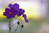Cosmos (bernarddelefosse) Tags: cosmos fleur nature