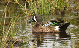 Blue Winged Teal … Anus discors