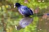 Nederland, Meerkoet, 04-11-2017 Het Reeland Dordrechtv2 (1 van 1) (michel.kapoen1) Tags: vogels birds biesbosch meerkoet coot