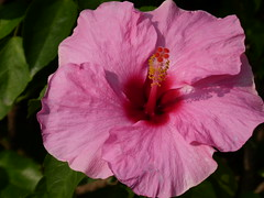 Pink Hibiscus (Toats Master) Tags: vietnam hanoi mausoleum hochiminh guards flowers