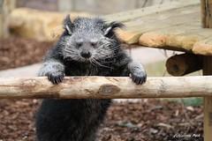 Binturong_DORIS (Passion Animaux & Photos) Tags: binturong chatours bearcat arctictisbinturong parc animalier saintecroix france
