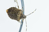 Out Of The Frying Pan... (lyunardo) Tags: macro nikon d4s 100mm micro stinkbug sting bug insect