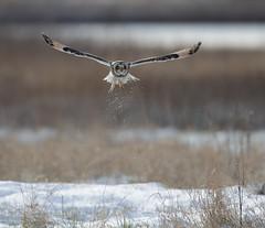 Short-eared owl (Andy Davis Photography) Tags: asioflammeus shortearedowl owl hunting quartering flying backlit snow ice winter marsh coast cold grass reeds tussocks