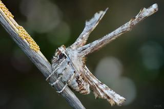 Apochima flabellaria