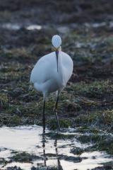 IMG_2910 (armadil) Tags: mavericks beach beaches californiabeaches bird birds egret snowyegret