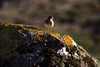 common sandpiper (kevmg61) Tags: commonsandpipermull common sandpiper mull morning light rock perched peep lichen covered sidelight scotland
