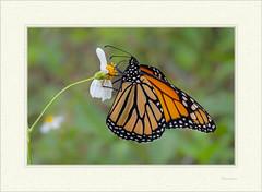 Danaus plexippus -  Monarch Butterfly (J. Amorin) Tags: danausplexippus monarchbutterfly macro canon10028 canon7d amorin macuspana mariposasdemexico mariposasdetabasco mariposa butterfly insecto mariposasypolillas macrofotografía