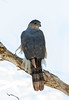 Cooper's Hawk (Ed Sivon) Tags: america canon nature lasvegas wildlife wild western southwest desert clarkcounty clark vegas bird birdofprey henderson nevada park