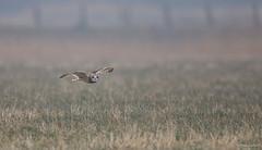 Velduil - Short-eared Owl - Asio flammeus  -6916 (Theo Locher) Tags: shortearedowl velduil sumpfohreule hiboudesmarais asioflammeus vogels birds vögel oiseaux belgie belgium copyrighttheolocher