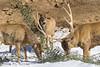 White-Lipped Deer (San Diego Zoo Global) Tags: sandiegozooglobal©2016 safaripark sandiego cute deer snow snowday winter cuteanimals animals sandiegozoo sandiegozoosafaripark hoofstock