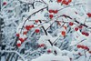 Frozen (No_Mosquito) Tags: winter snow cold tree nature frozen branches twigs red canon powershot g7xmarkii