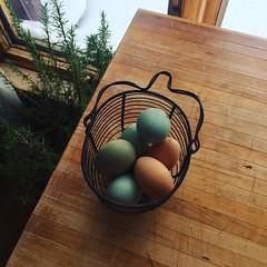 green eggs and...blue eggs and brown eggs (ekpatterson) Tags: 2018 chickens hens ameraucana blackaustralorp fresheggs eggs blueeggs greeneggs basket print