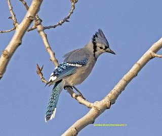 Blue Jay. Cyanocitta cristata.