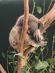 Koala sleeping at Wild Life Zoo Sydney #wildlifezoo #wildlifesydney #sydney (Simon_sees) Tags: nativeanimal wildlife animal koala wildlifesydney wildlifezoo