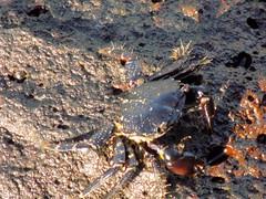 Costa Teguise, Lanzarote (J.P. Enright) Tags: costateguise lanzarote islascanarias canarias canaryislands spain españa cangrejo crab