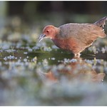 Ruddy-breasted Crake thumbnail