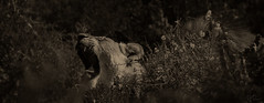 The roar.... (Coisroux) Tags: lioness lions roar echo waldlife safari lowlight lowkey d5500 nikond teeth animals big5 kwandwe sound strenght monochrome blackandwhite bushveld shadows portrait monochromia