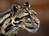 clouded leopard Ouwehands BB2A9836 (j.a.kok) Tags: luipaard nevelpanter panther cloudedleopard neofelisnebulosa leopard panter asia azie mammal zoogdier dier animal kat cat ouwehands