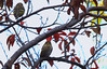 Birdwatching 20151123 (caligula1995) Tags: 2015 balconygarden birds plumtree