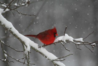 Male Cardinal in Snow....
