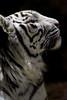 Sky ♂ - When You Wish Upon a Star (Belteshazzar (AKA Harimau Kayu)) Tags: sky tiger zoo animal bigcat bigcats feline bengaltiger pantheratigristigris königstiger indischertiger eltigredebengala tigredubengale latigrerealedelbengala бенгальскийтигр 孟加拉虎 whitetiger weisertiger tigreblanco tigreblancroyal белыйтигр 孟加拉白虎 zooshot tobu tobuzoo snowwhite sunbathing canada playful playfulcat playfultiger playfulwhitetiger bengal sex blueeyes curiosity nightzoo whenyouwishuponastar
