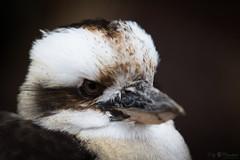 Laughing kookaburra (Cloudtail the Snow Leopard) Tags: liest tier animal vogel bird kookaburra lachender hans jägerliest eisvogel kingfisher laughing dacelo novaeguineae zoo stadtgarten karlsruhe