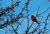Project365_20 (SAT_Photography) Tags: bird birds robin backyard