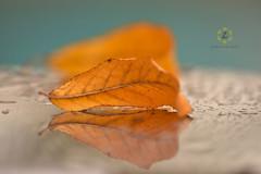 Yellow Leaf (Zara Calista) Tags: nikon leaf yellow rain reflection light 180mm tamron d750