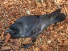 Australian Raven (sander_sloots) Tags: corvuscoronoides australian raven crow australische raaf kraai kings park perth bird vogel mulch